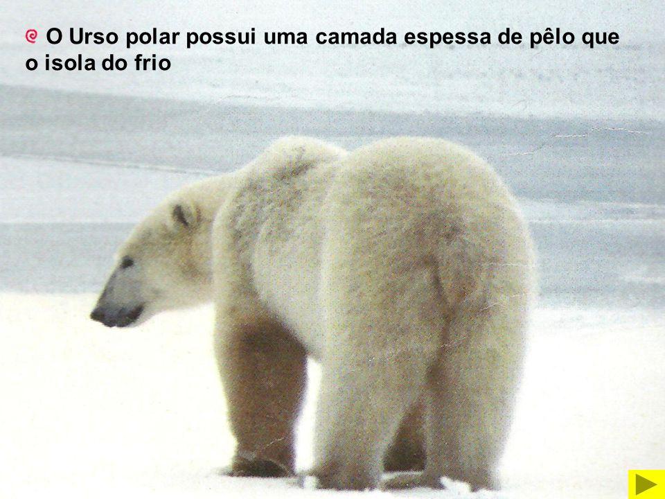 O Urso polar possui uma camada espessa de pêlo que o isola do frio