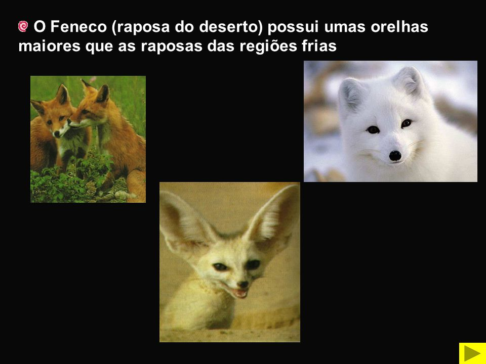 O Feneco (raposa do deserto) possui umas orelhas maiores que as raposas das regiões frias