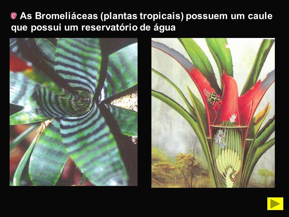 As Bromeliáceas (plantas tropicais) possuem um caule que possui um reservatório de água