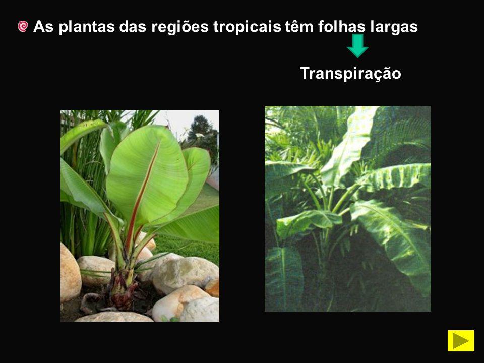 As plantas das regiões tropicais têm folhas largas