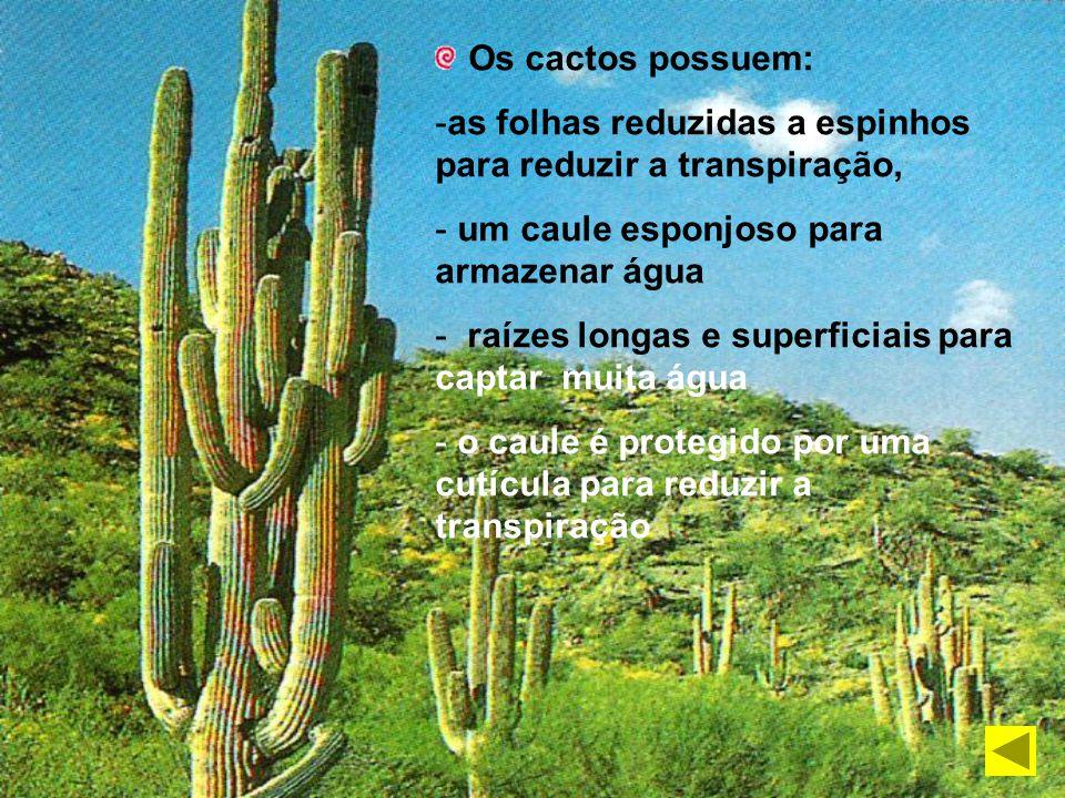 Os cactos possuem: as folhas reduzidas a espinhos para reduzir a transpiração, um caule esponjoso para armazenar água.