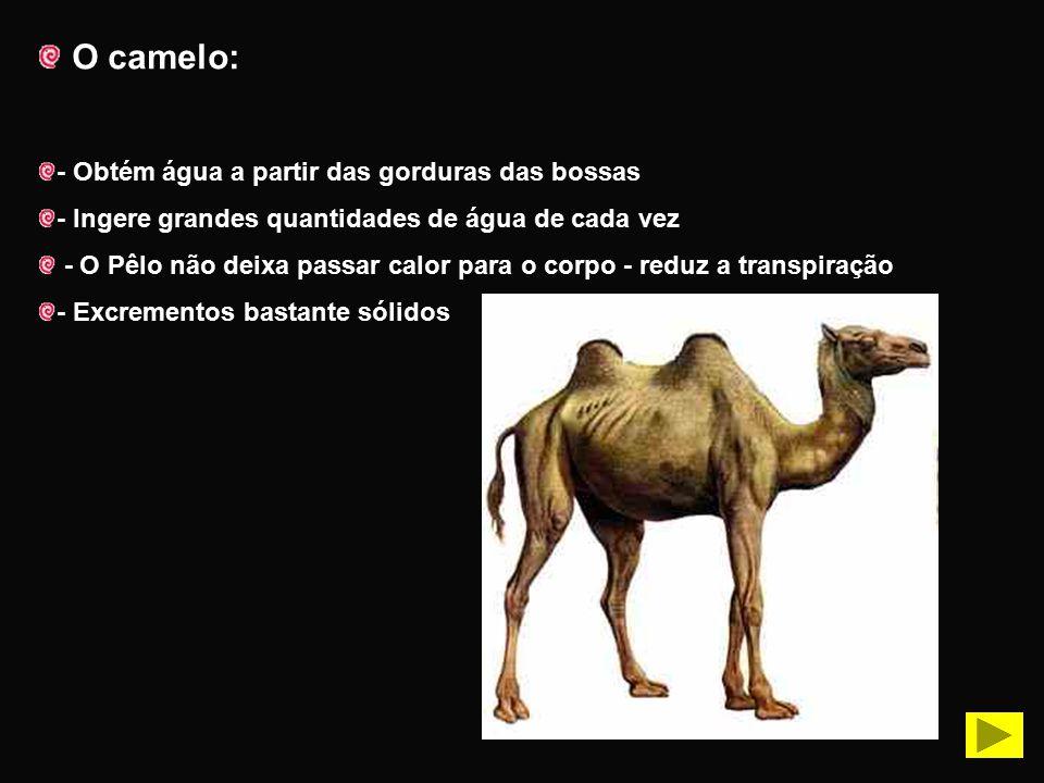 O camelo: - Obtém água a partir das gorduras das bossas