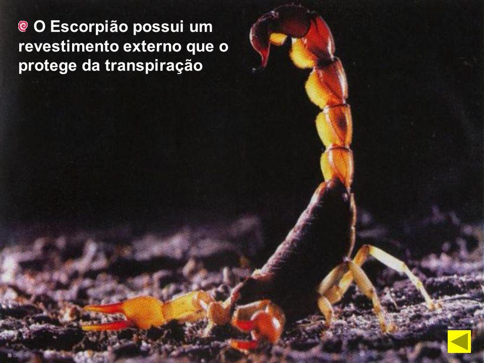 O Escorpião possui um revestimento externo que o protege da transpiração