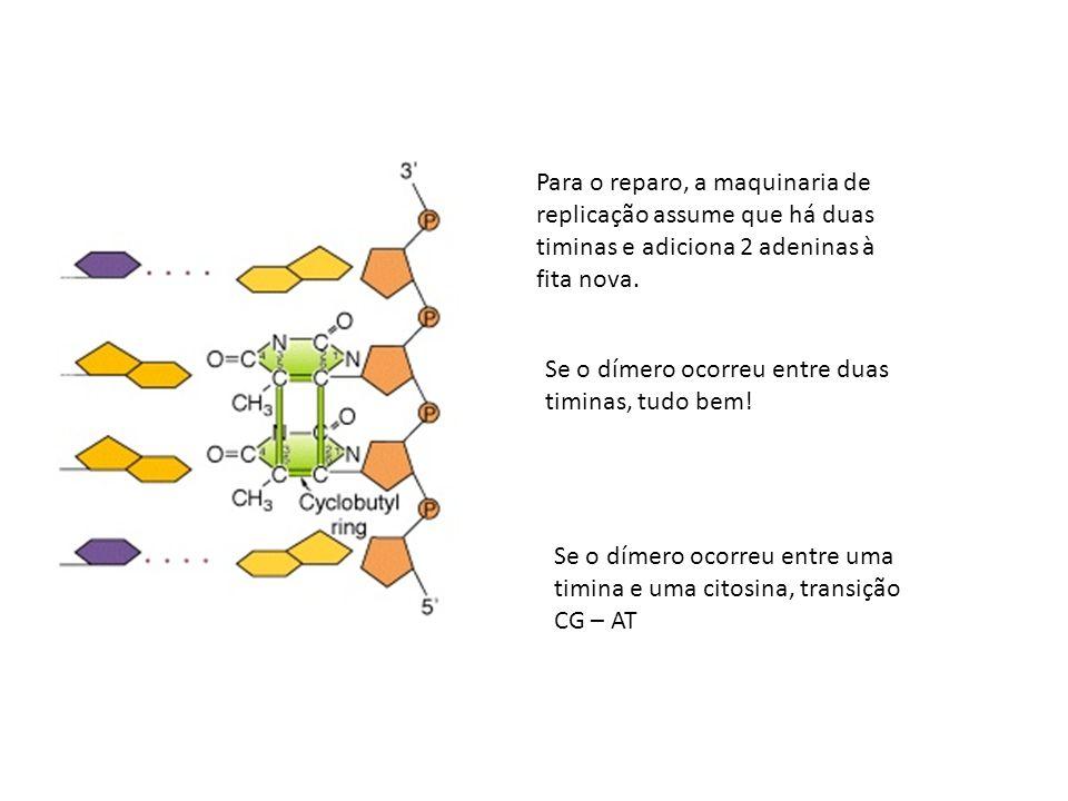 Para o reparo, a maquinaria de replicação assume que há duas timinas e adiciona 2 adeninas à fita nova.