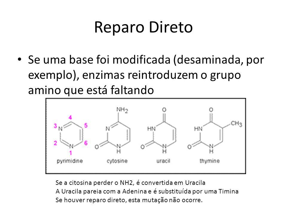 Reparo Direto Se uma base foi modificada (desaminada, por exemplo), enzimas reintroduzem o grupo amino que está faltando.