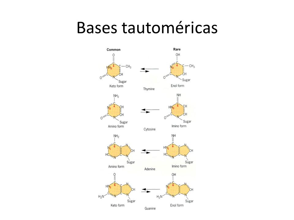 Bases tautoméricas