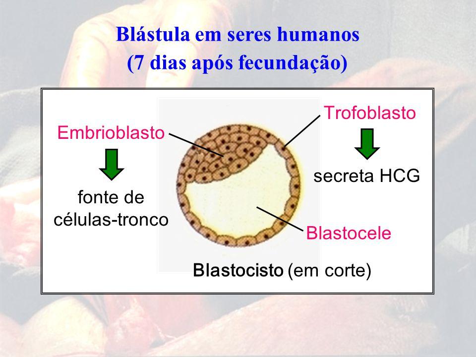 Blástula em seres humanos (7 dias após fecundação)