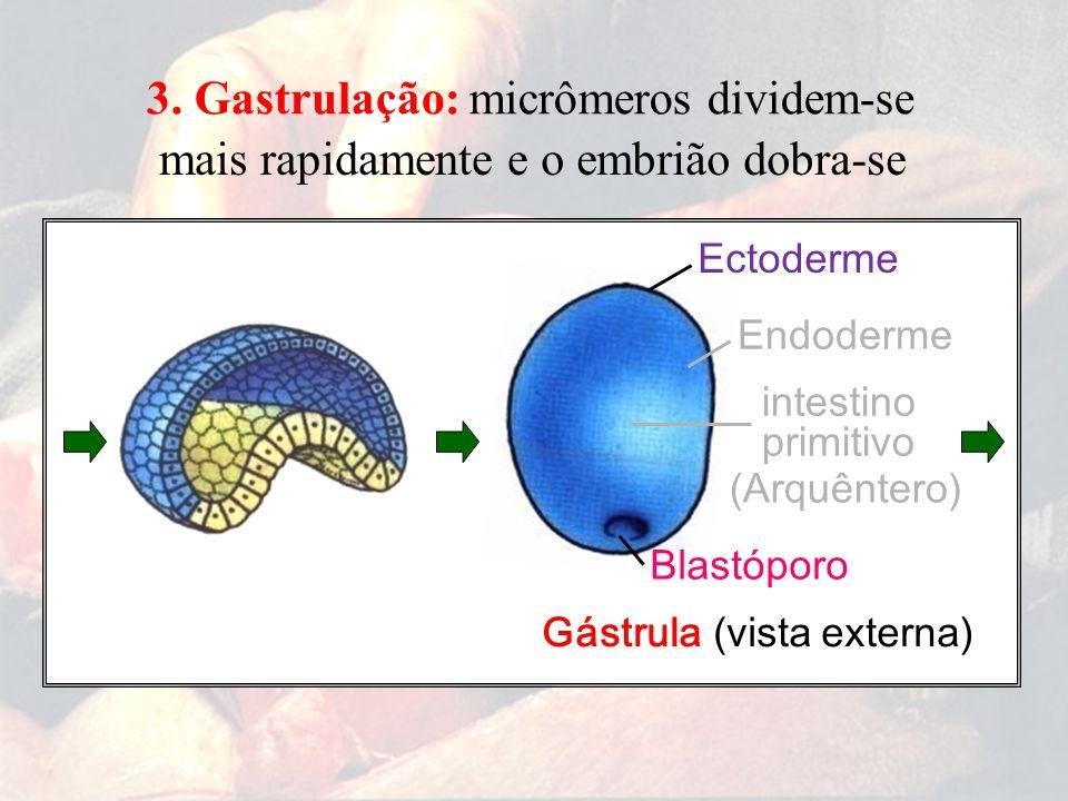 micrômeros dividem-se mais rapidamente e o embrião dobra-se