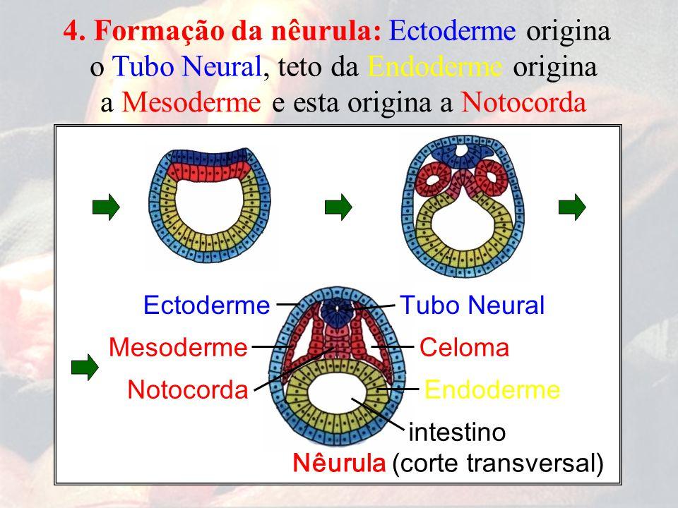 teto da Endoderme origina a Mesoderme e esta origina a Notocorda