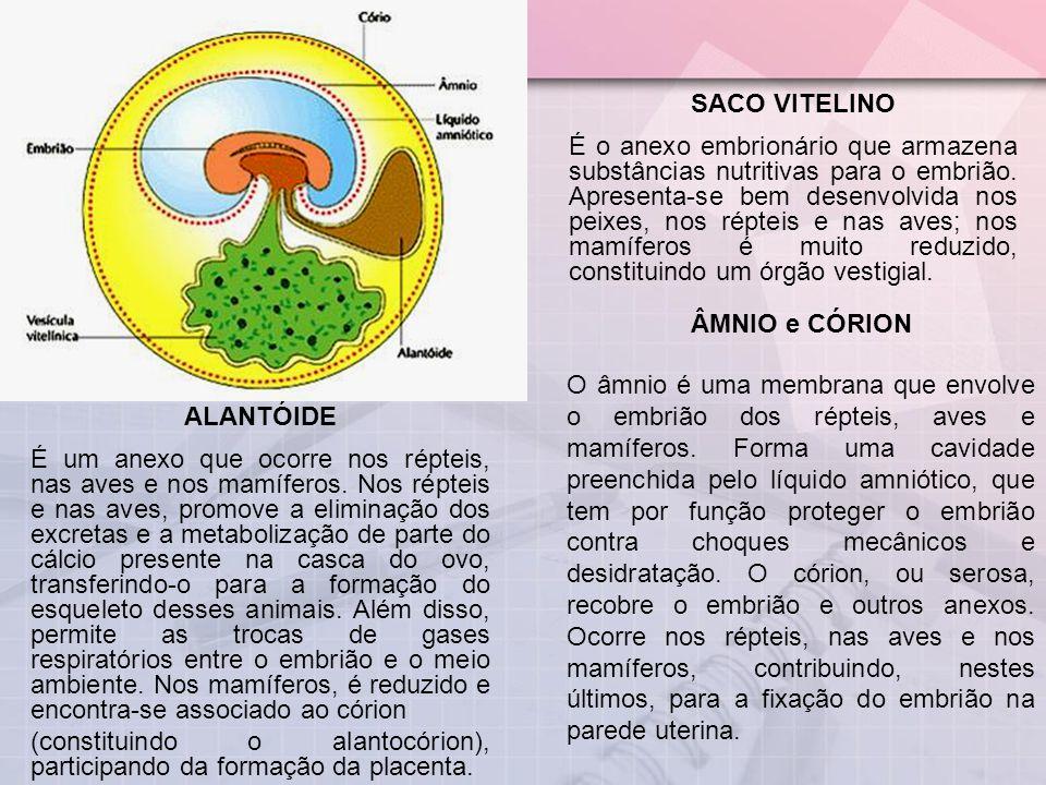 SACO VITELINO
