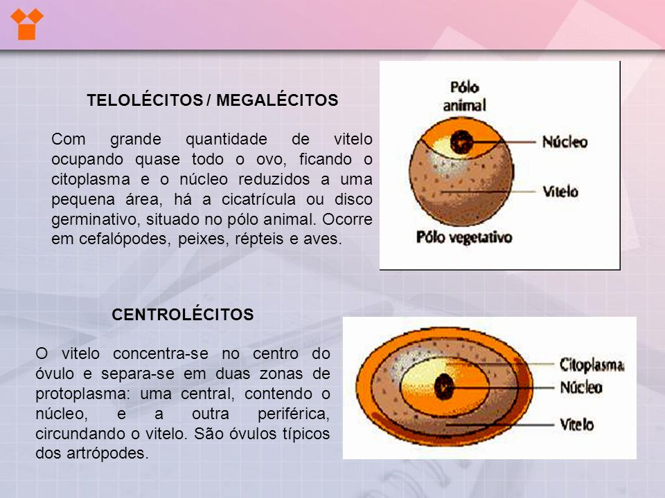 TELOLÉCITOS / MEGALÉCITOS