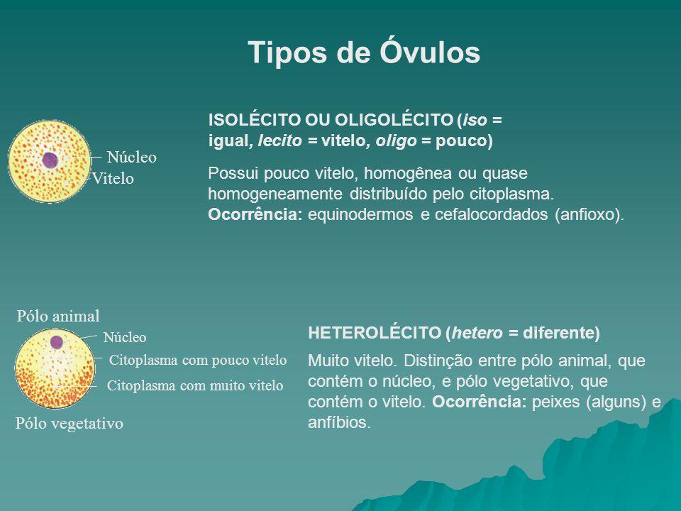 Tipos de Óvulos ISOLÉCITO OU OLIGOLÉCITO (iso = igual, lecito = vitelo, oligo = pouco) Núcleo.