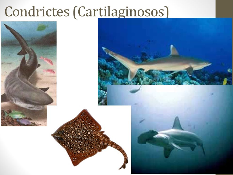 Condrictes (Cartilaginosos)