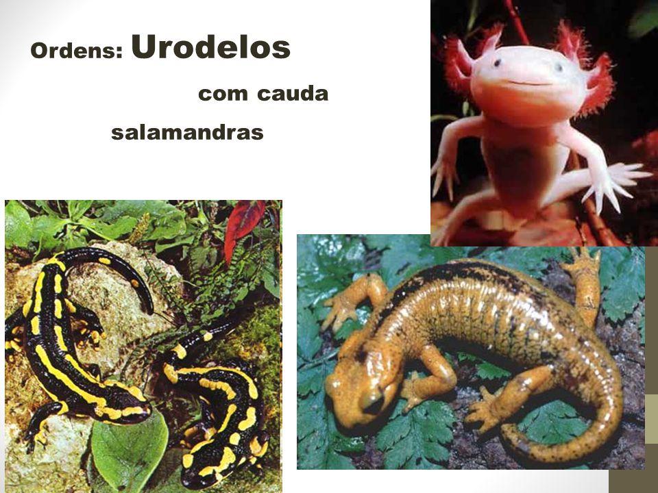 Ordens: Urodelos com cauda salamandras