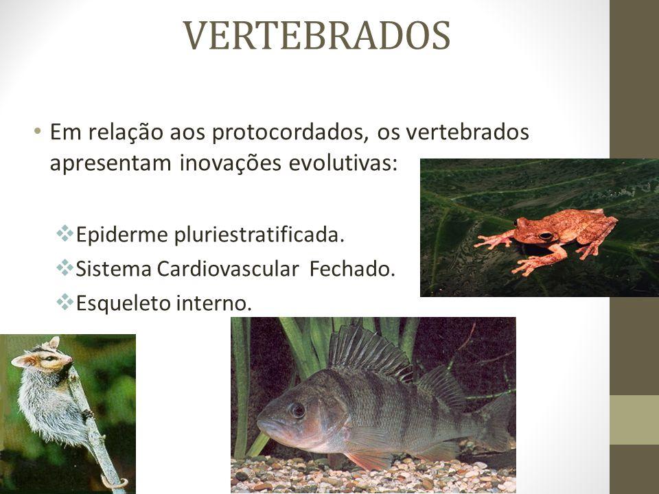 VERTEBRADOS Em relação aos protocordados, os vertebrados apresentam inovações evolutivas: Epiderme pluriestratificada.