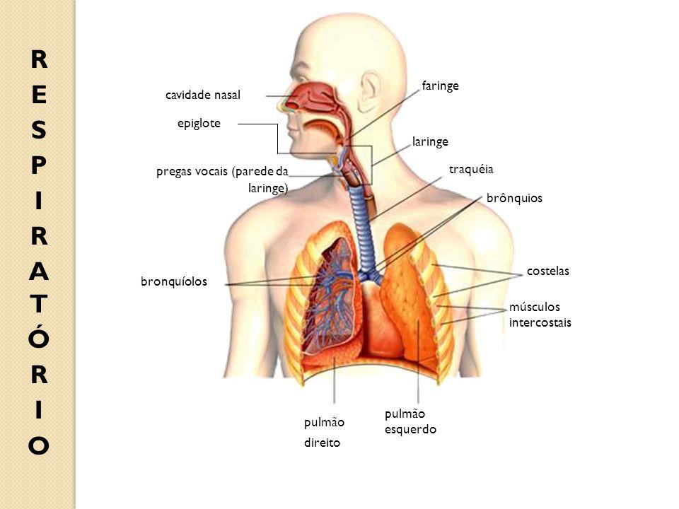 RESPIRATÓRIO faringe cavidade nasal epiglote laringe