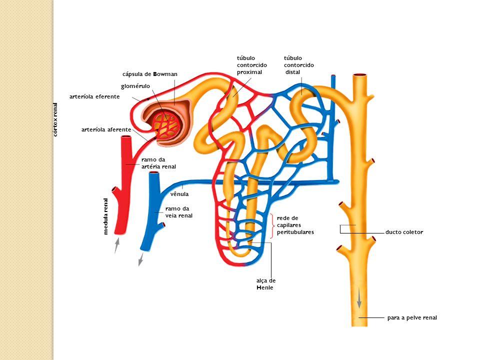 para a pelve renal túbulo contorcido. distal. túbulo contorcido proximal. cápsula de Bowman. glomérulo.