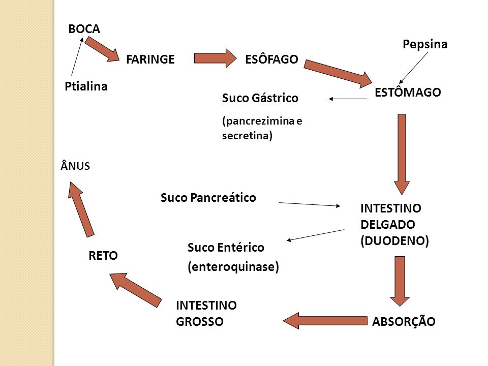 INTESTINO DELGADO (DUODENO)