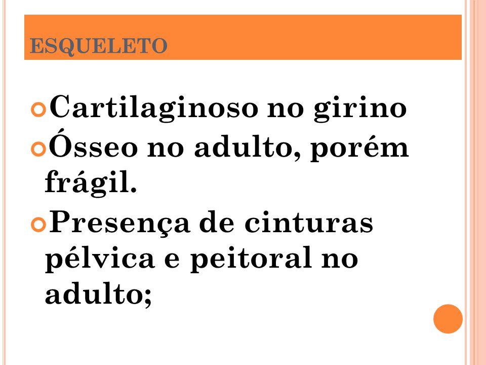Cartilaginoso no girino Ósseo no adulto, porém frágil.