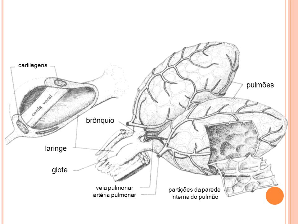 pulmões brônquio laringe glote cartilagens veia pulmonar