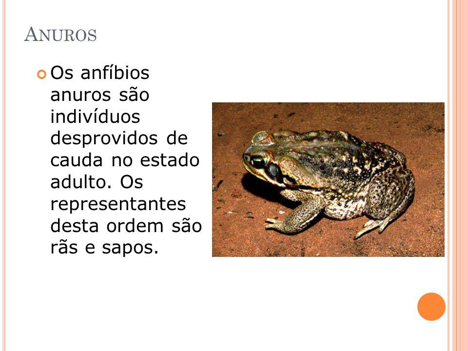 Anuros Os anfíbios anuros são indivíduos desprovidos de cauda no estado adulto.