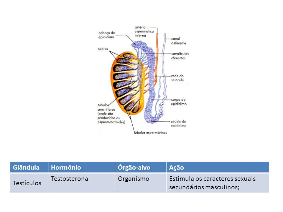 Glândula Hormônio. Órgão-alvo. Ação. Testículos.