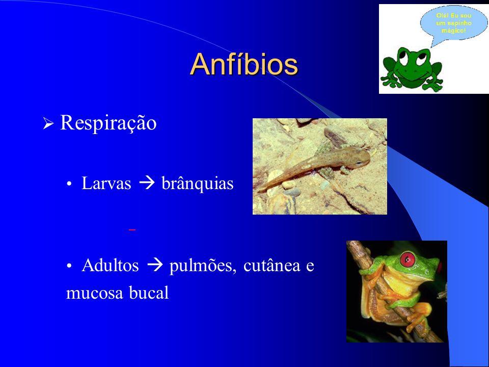 Anfíbios Respiração Larvas  brânquias Adultos  pulmões, cutânea e
