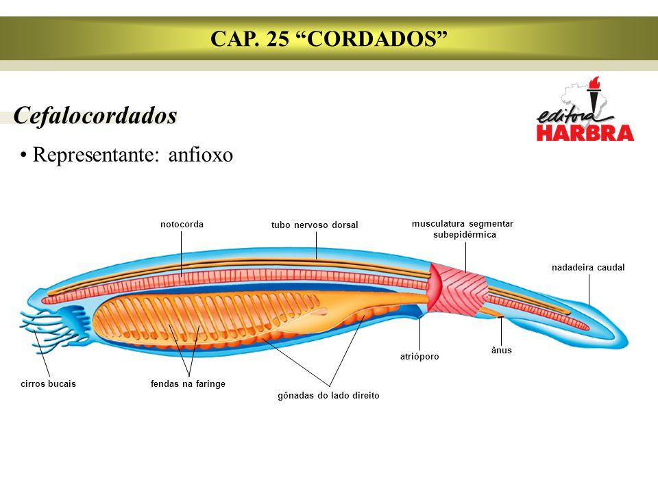 musculatura segmentar gônadas do lado direito