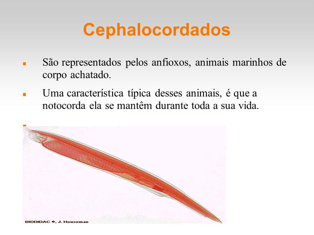 Cephalocordados São representados pelos anfioxos, animais marinhos de corpo achatado.