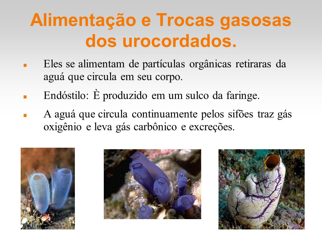 Alimentação e Trocas gasosas dos urocordados.