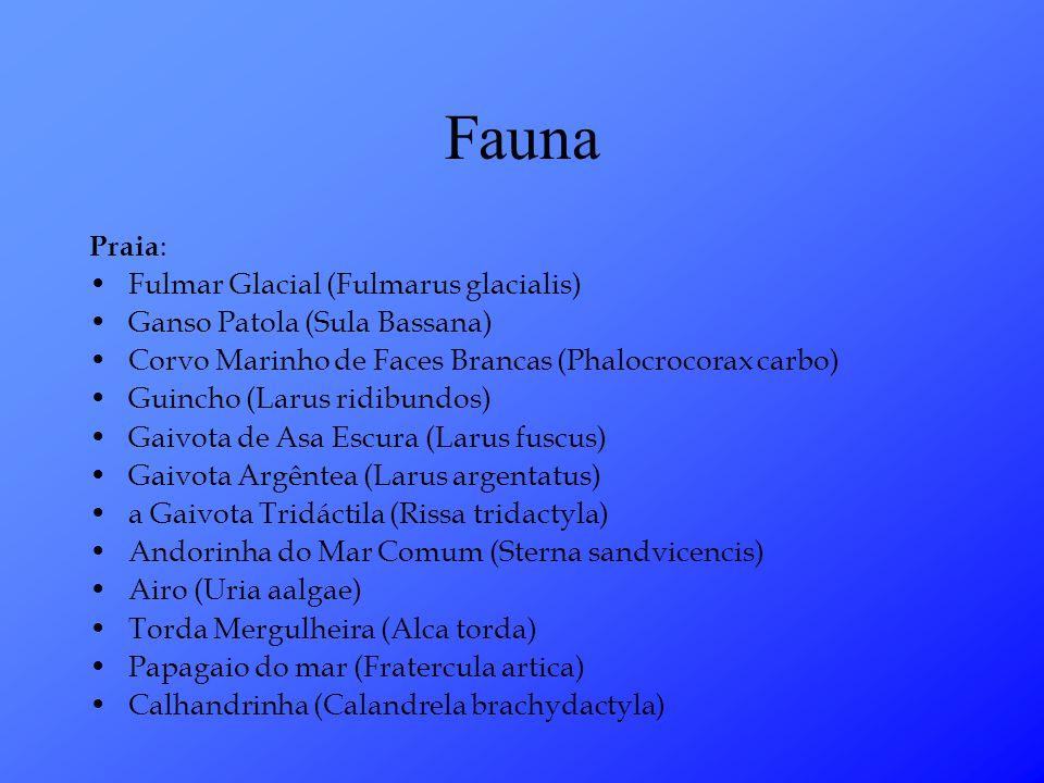 Fauna Praia: Fulmar Glacial (Fulmarus glacialis)