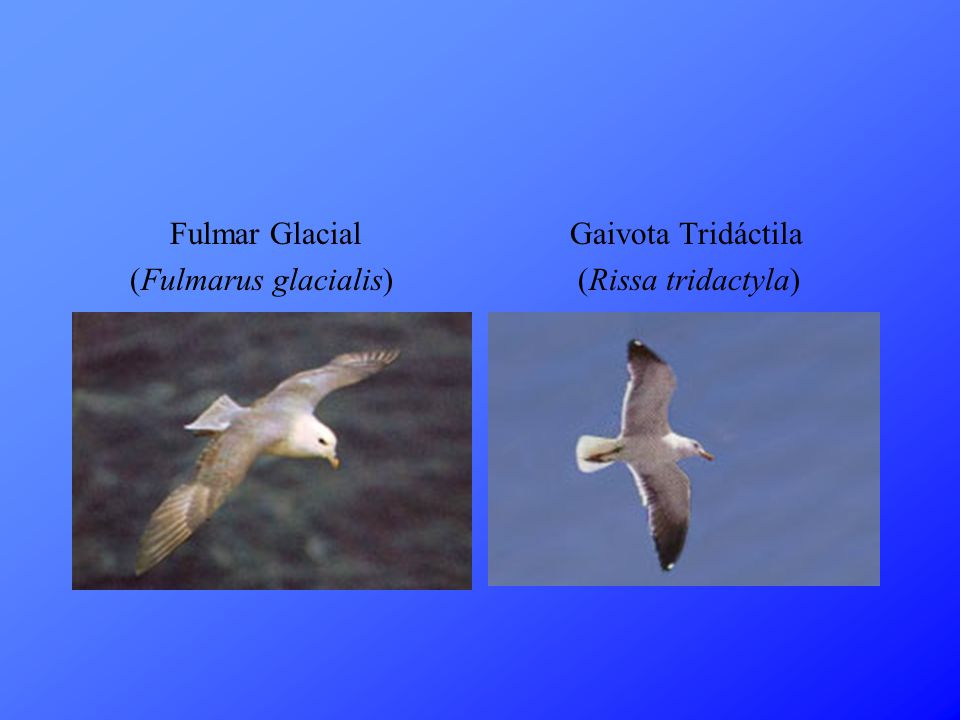 Fulmar Glacial (Fulmarus glacialis) Gaivota Tridáctila (Rissa tridactyla)