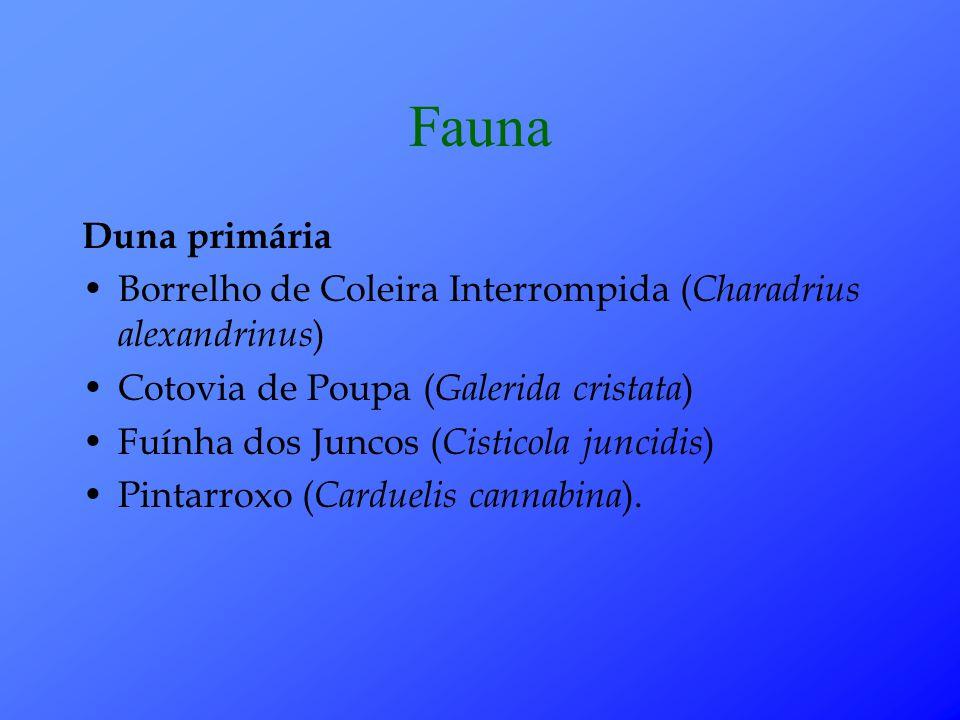 Fauna Duna primária. Borrelho de Coleira Interrompida (Charadrius alexandrinus) Cotovia de Poupa (Galerida cristata)