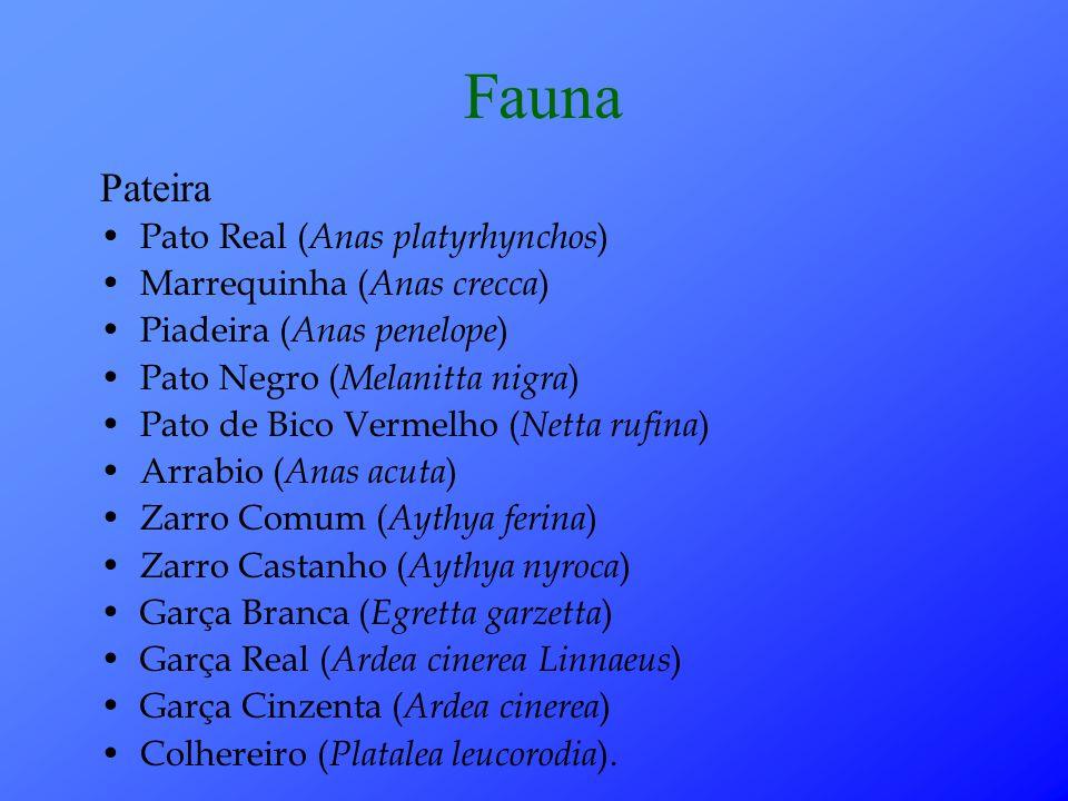 Fauna Pateira Pato Real (Anas platyrhynchos) Marrequinha (Anas crecca)