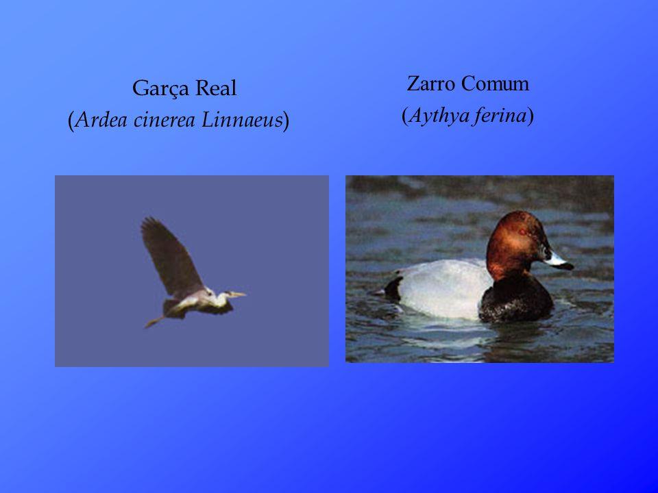 Zarro Comum (Aythya ferina) Garça Real (Ardea cinerea Linnaeus)