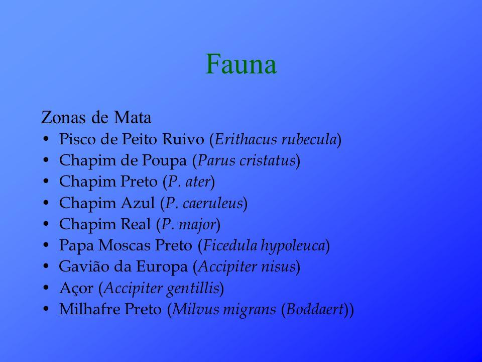 Fauna Zonas de Mata Pisco de Peito Ruivo (Erithacus rubecula)