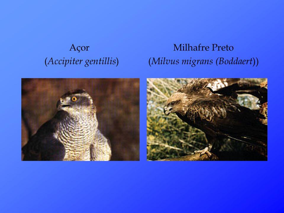(Accipiter gentillis) Milhafre Preto (Milvus migrans (Boddaert))