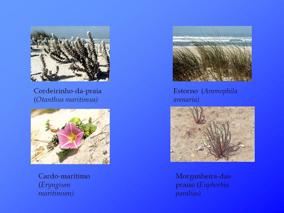 Cordeirinho-da-praia (Otanthus maritimus)