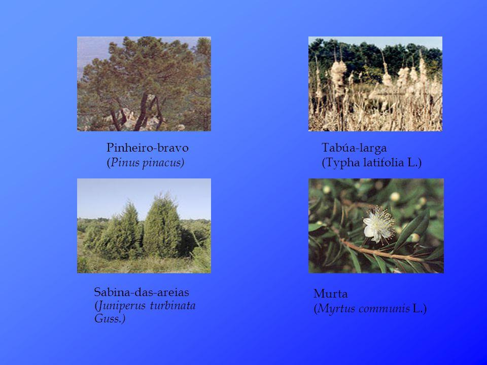 Pinheiro-bravo (Pinus pinacus)