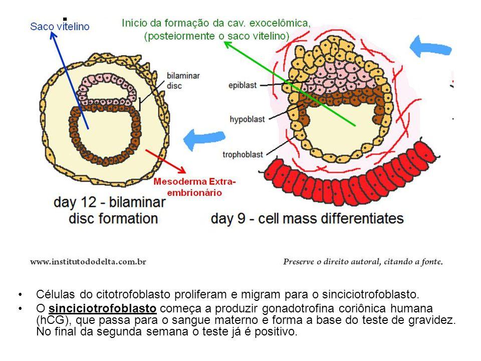 Células do citotrofoblasto proliferam e migram para o sinciciotrofoblasto.