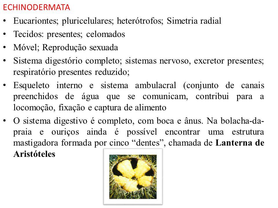 ECHINODERMATA Eucariontes; pluricelulares; heterótrofos; Simetria radial. Tecidos: presentes; celomados.