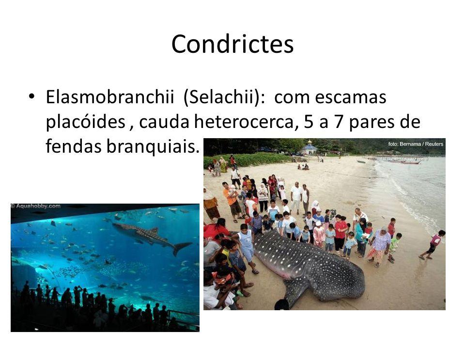 Condrictes Elasmobranchii (Selachii): com escamas placóides , cauda heterocerca, 5 a 7 pares de fendas branquiais.