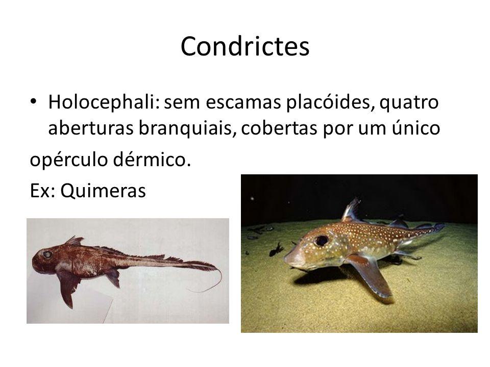 Condrictes Holocephali: sem escamas placóides, quatro aberturas branquiais, cobertas por um único. opérculo dérmico.