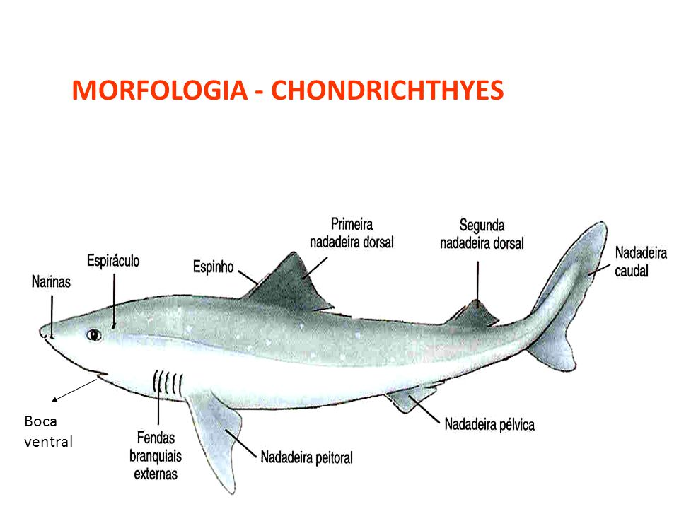 MORFOLOGIA - CHONDRICHTHYES