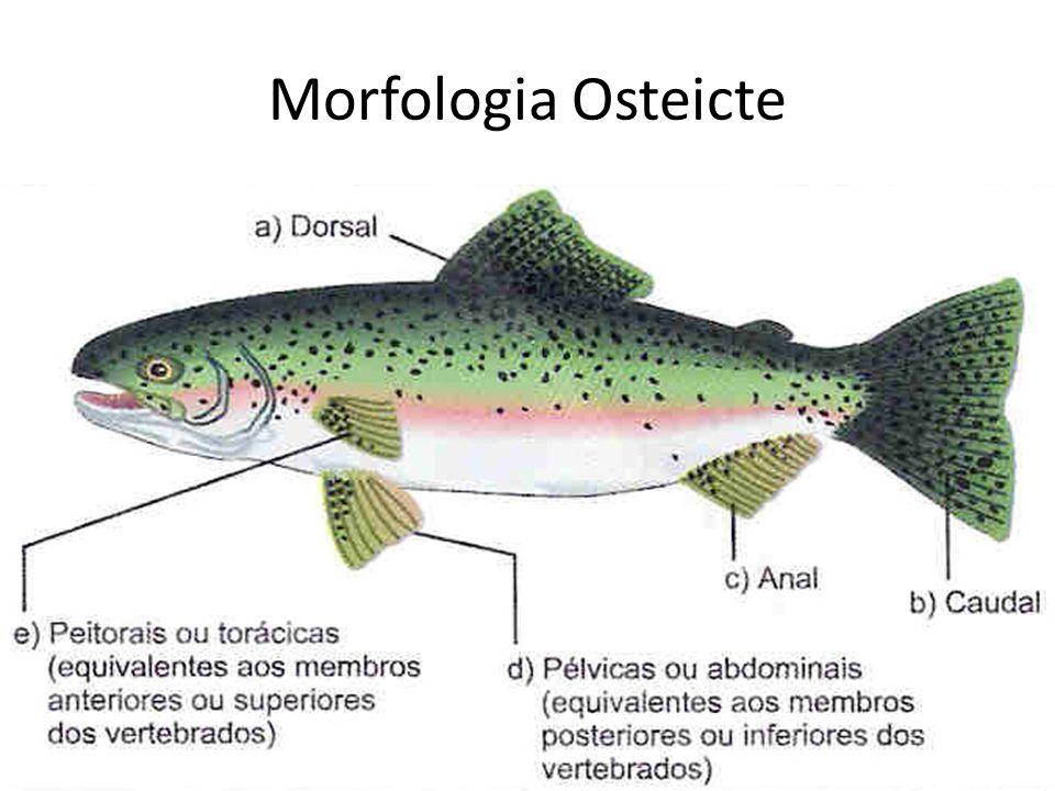 Morfologia Osteicte