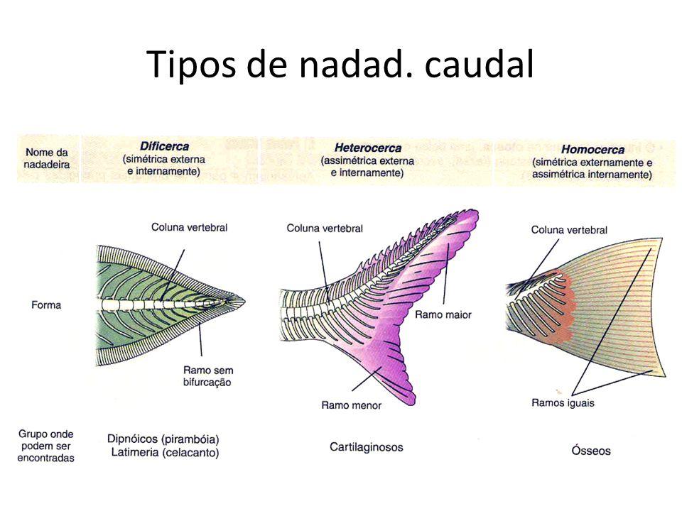 Tipos de nadad. caudal