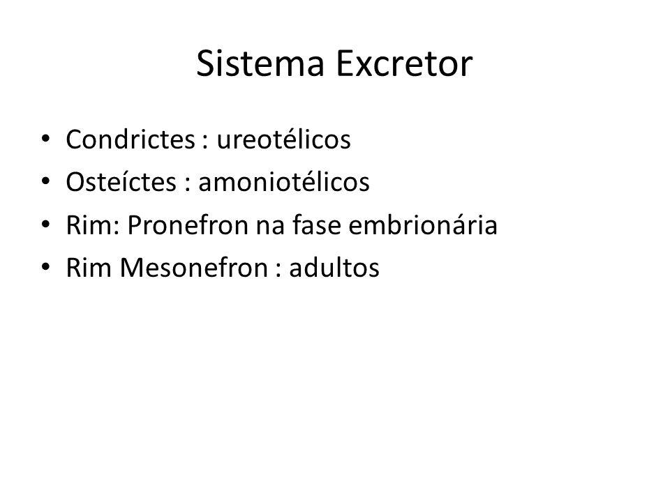Sistema Excretor Condrictes : ureotélicos Osteíctes : amoniotélicos