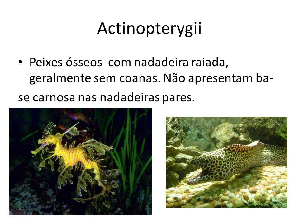 Actinopterygii Peixes ósseos com nadadeira raiada, geralmente sem coanas. Não apresentam ba- se carnosa nas nadadeiras pares.