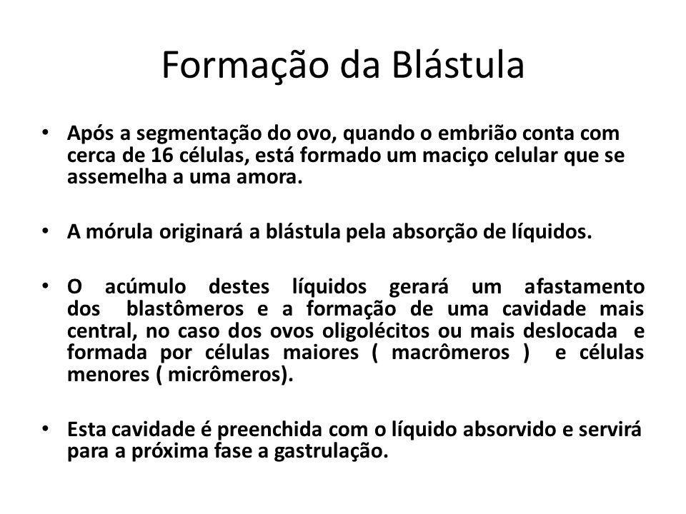 Formação da Blástula