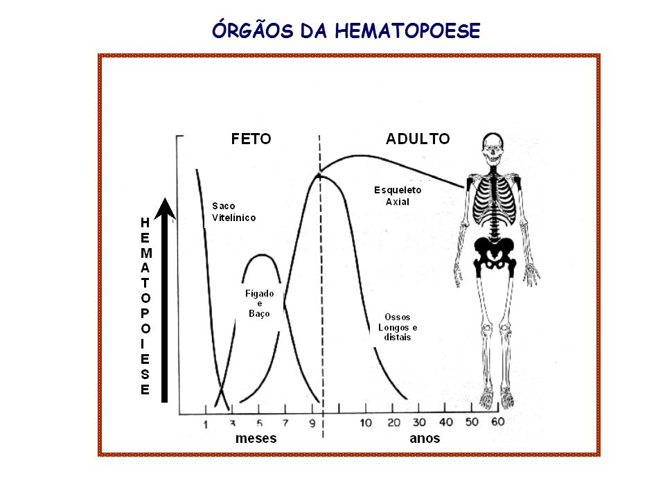 ÓRGÃOS DA HEMATOPOESE